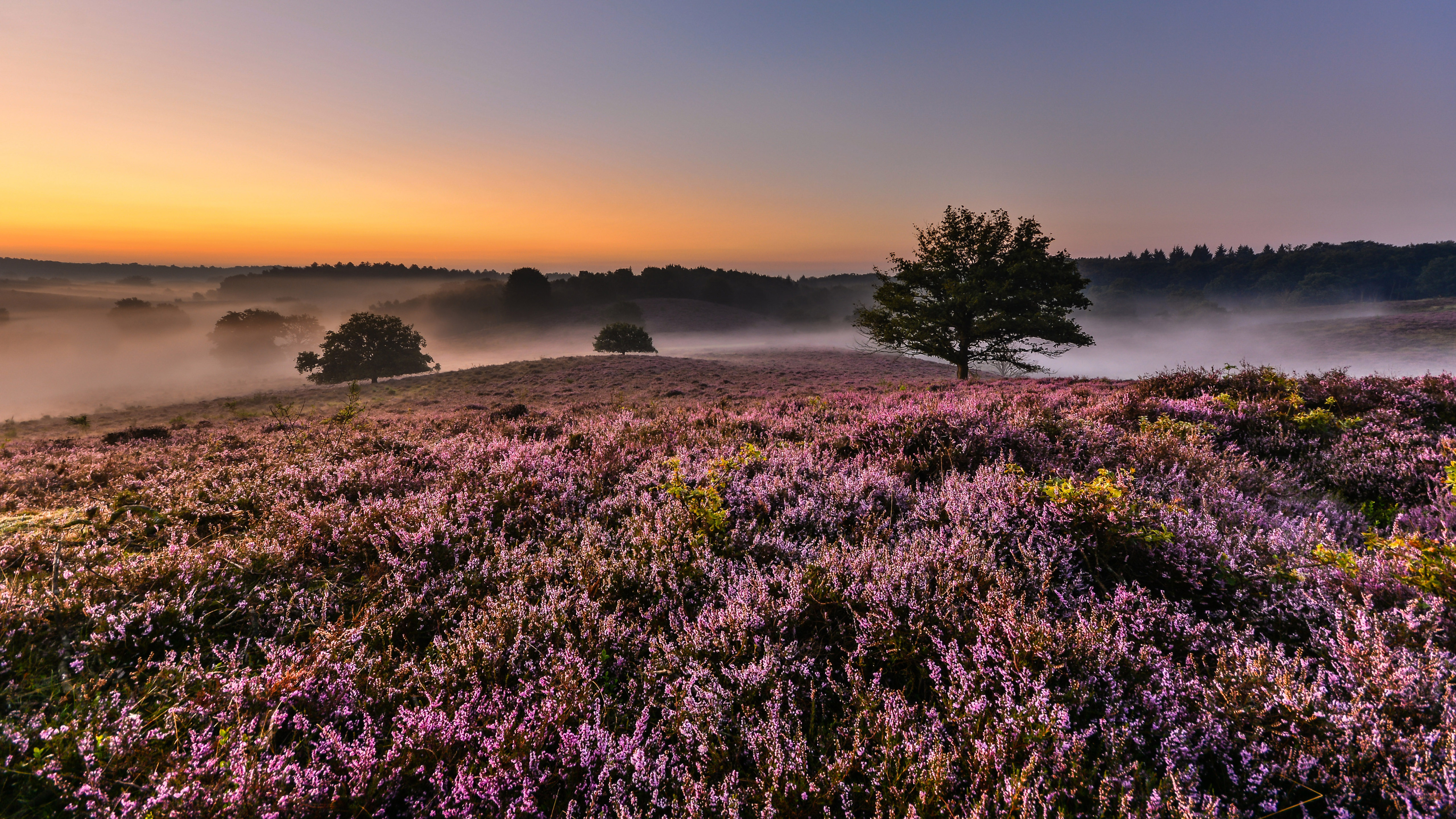 Beautiful Fall Pictures Wallpaper Sunrise Morning In Veluwe Netherlands Heather Flowers In
