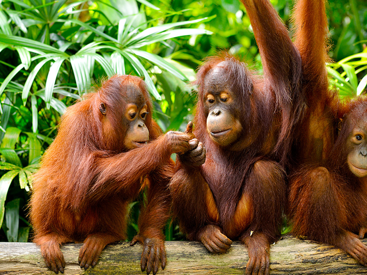 Cute Baby Wallpaper Download Hd Jungle And Borneo Island Malaysia Cute Family Orangutans