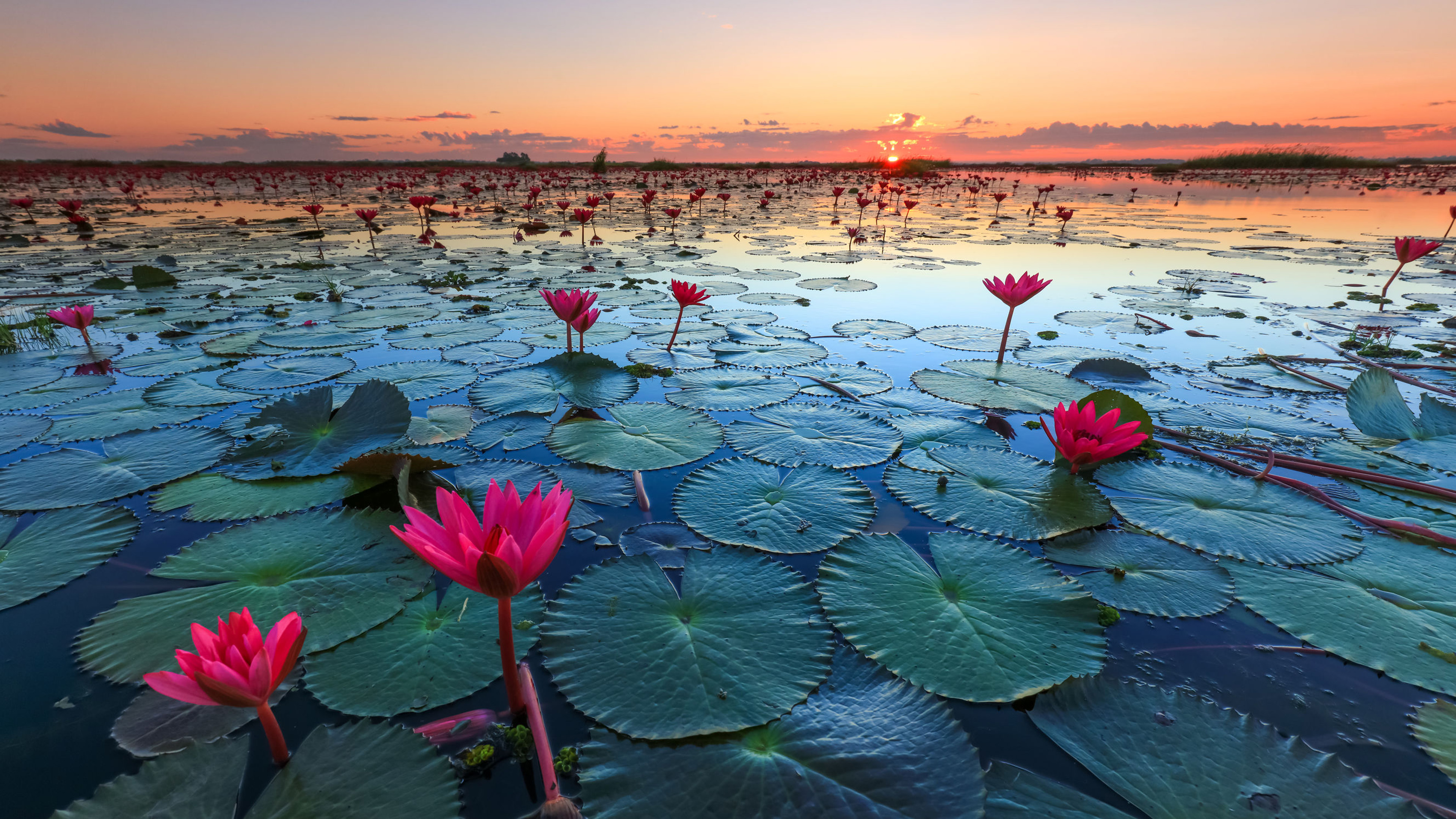 Lotus Wallpaper Iphone X Lotus Lake Pink Lotus Green Leaves Sunset Udon Thani Talay