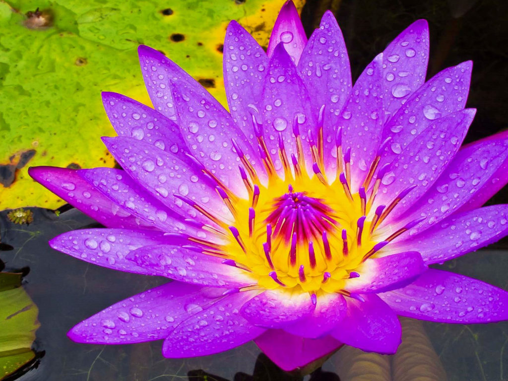 Wallpaper Off White Iphone X Water Lily Purple And Yellow Flower Hd Wallpaper High