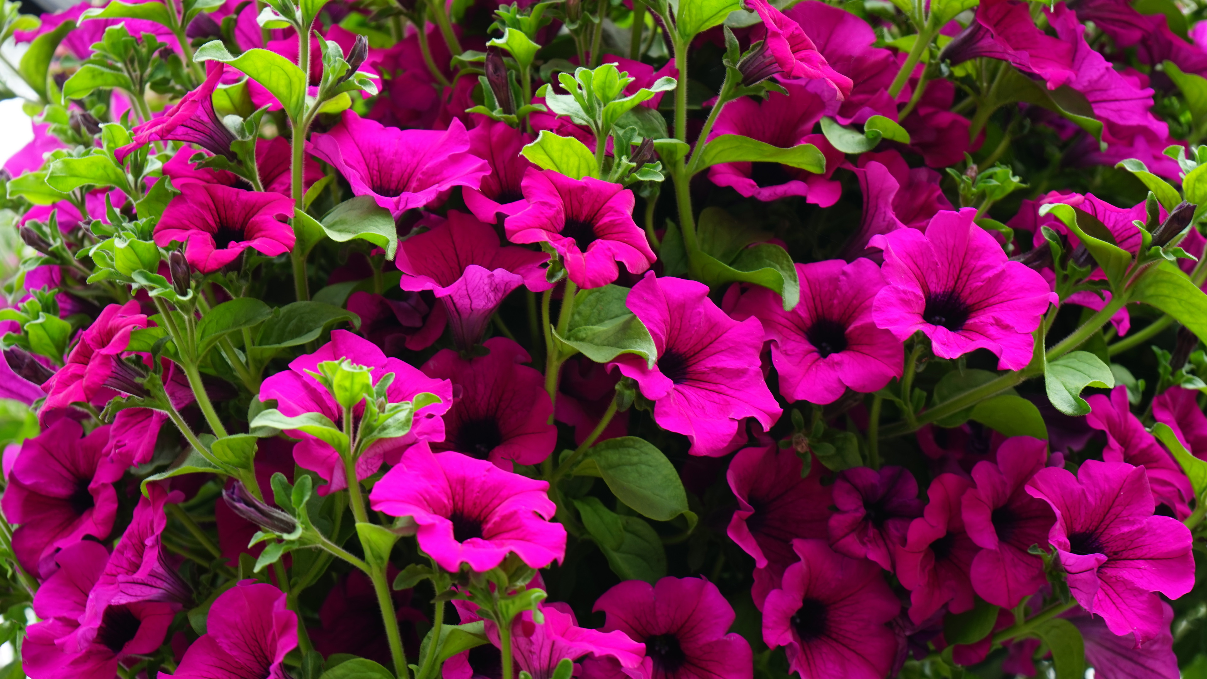 Plant Wallpaper Iphone Petunia Color Bunina Dark Pink Flowers Green Leaves Annual