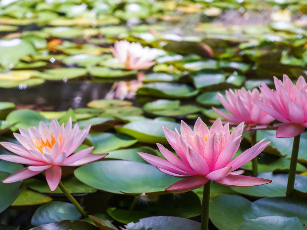 Tablet Cars Wallpapers Water Lily Flowers Nature Flower Wallpaper Hd For Desktop