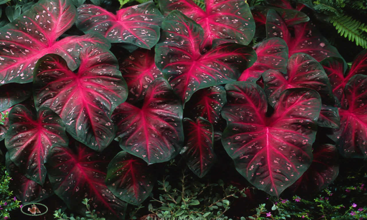 Pink Flower Iphone Wallpaper Caladiums Red Flash Bulbs Elephant Ears Perennial Plants