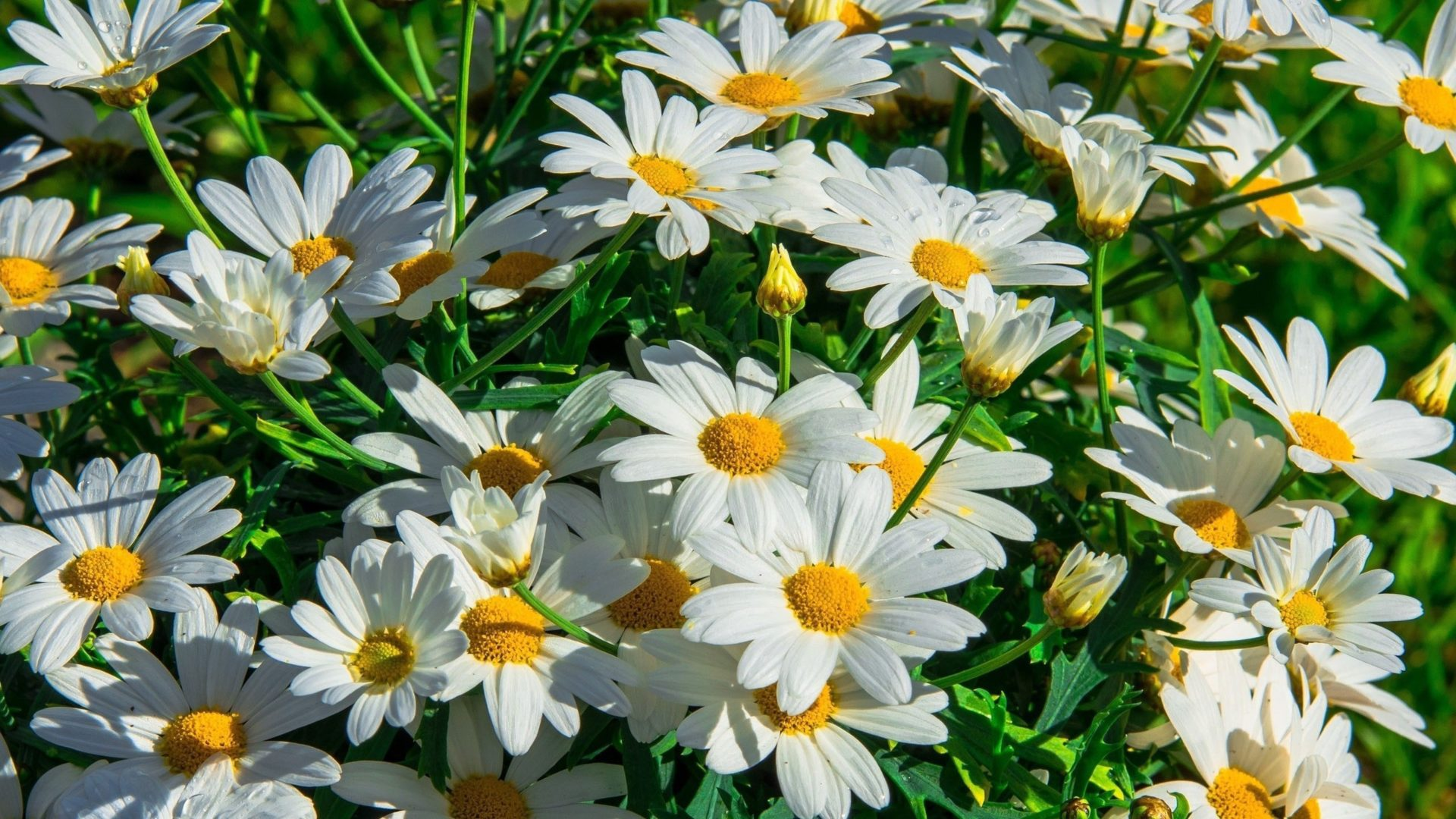 Fall Daisy Wallpaper Chamomile Flower Beautiful Daisies Flowers With White
