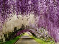 Decorative Plants Wisteria Flower White Violet And Pink ...