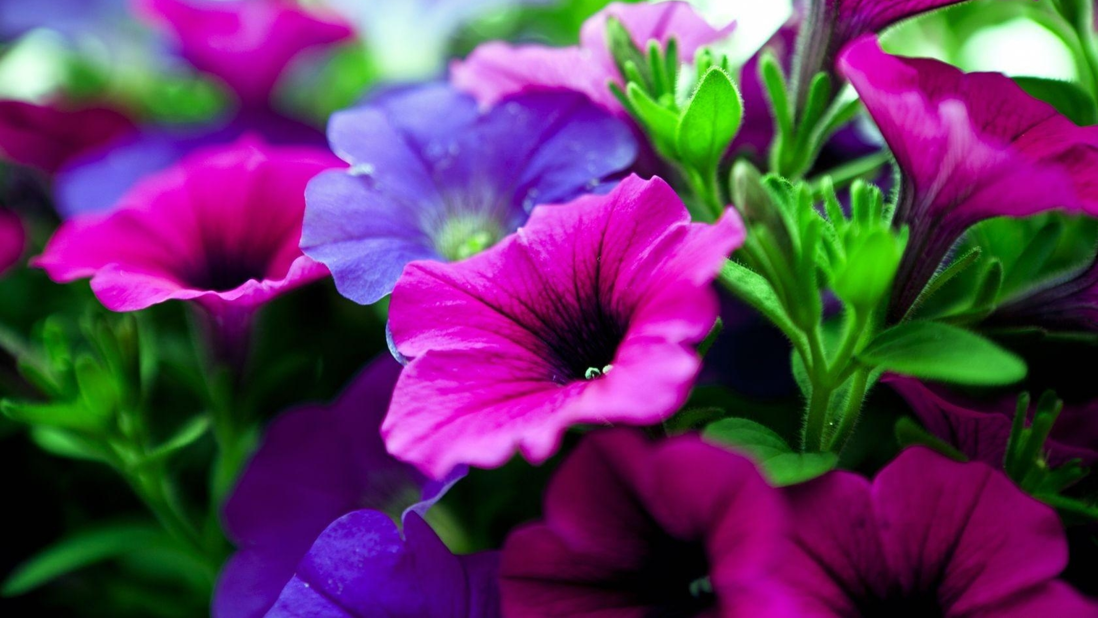 Beautiful Wallpapers For Iphone X Petunias Flowers Pink And Purple Tree With Green Leaves