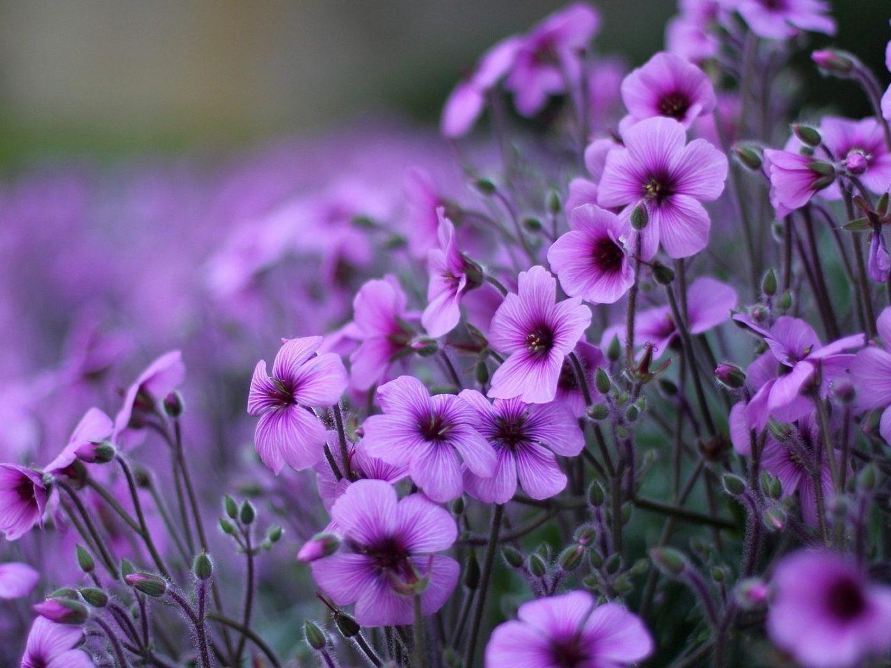 3d Animated Christmas Wallpapers Purple Flowers Geranium Ornamental Flowering Plants Hd