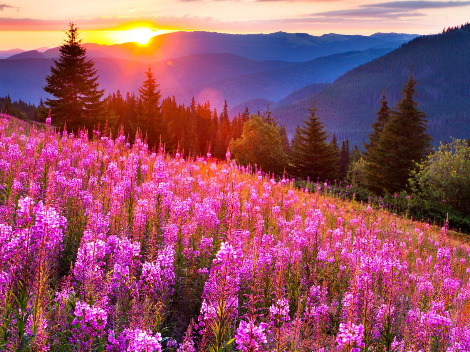Ipad Wallpaper Hd Free Sunsets Mountain Mow Lupine Pink Flowers Summer Landscape