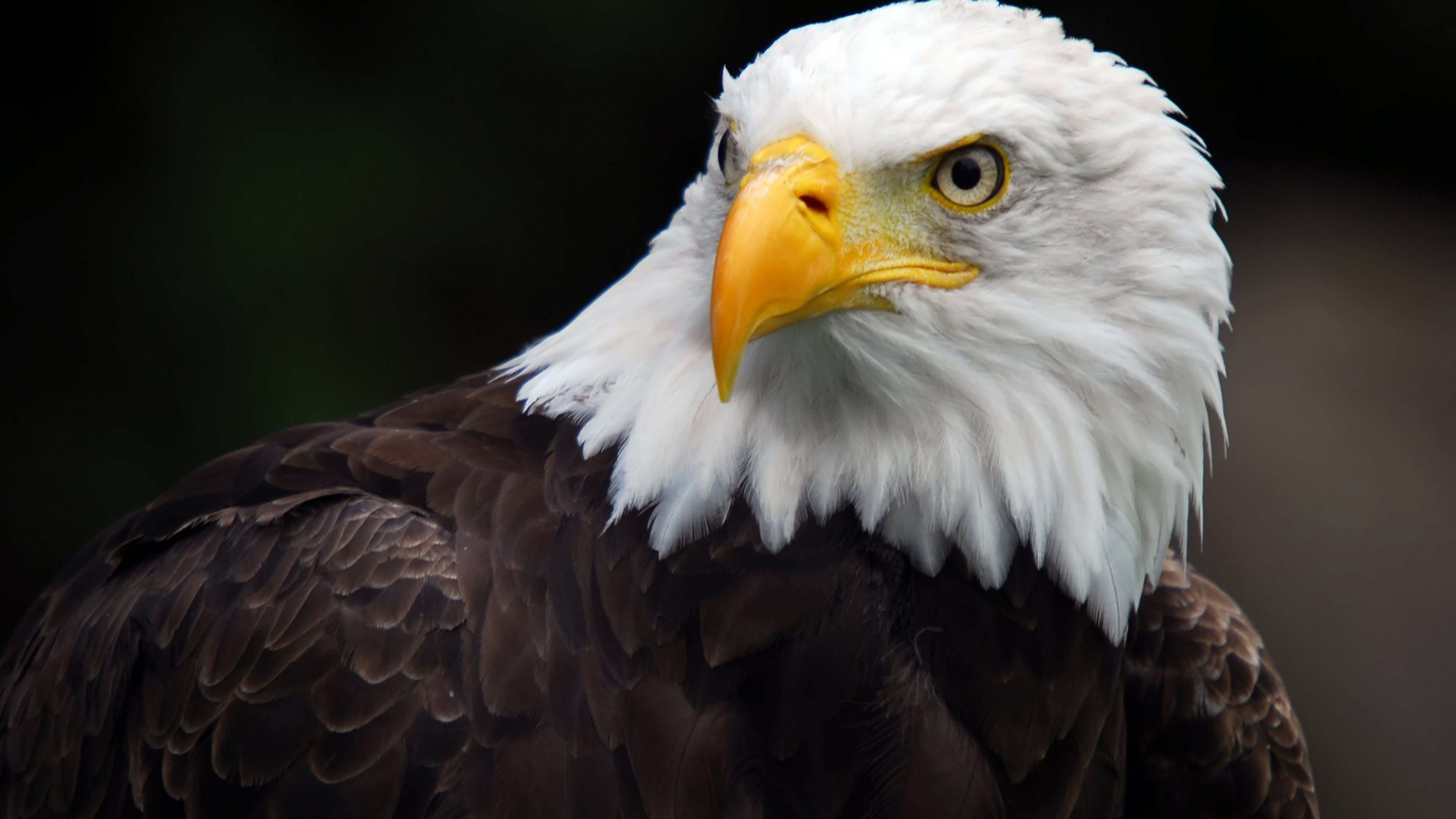 Eagle Wallpaper Iphone X American Bald Eagle Desktop Hd Wallpaper For Pc Tablet And