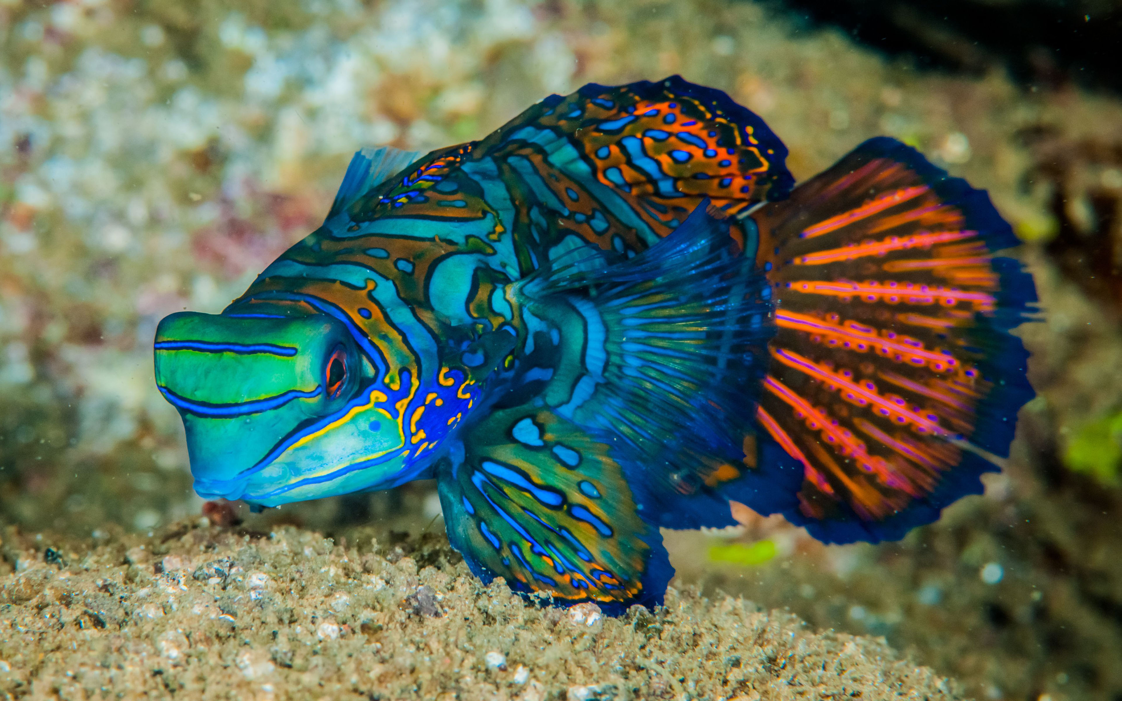 Mandarinfish Fish Is A Small Exotic Colorful Fish Of The