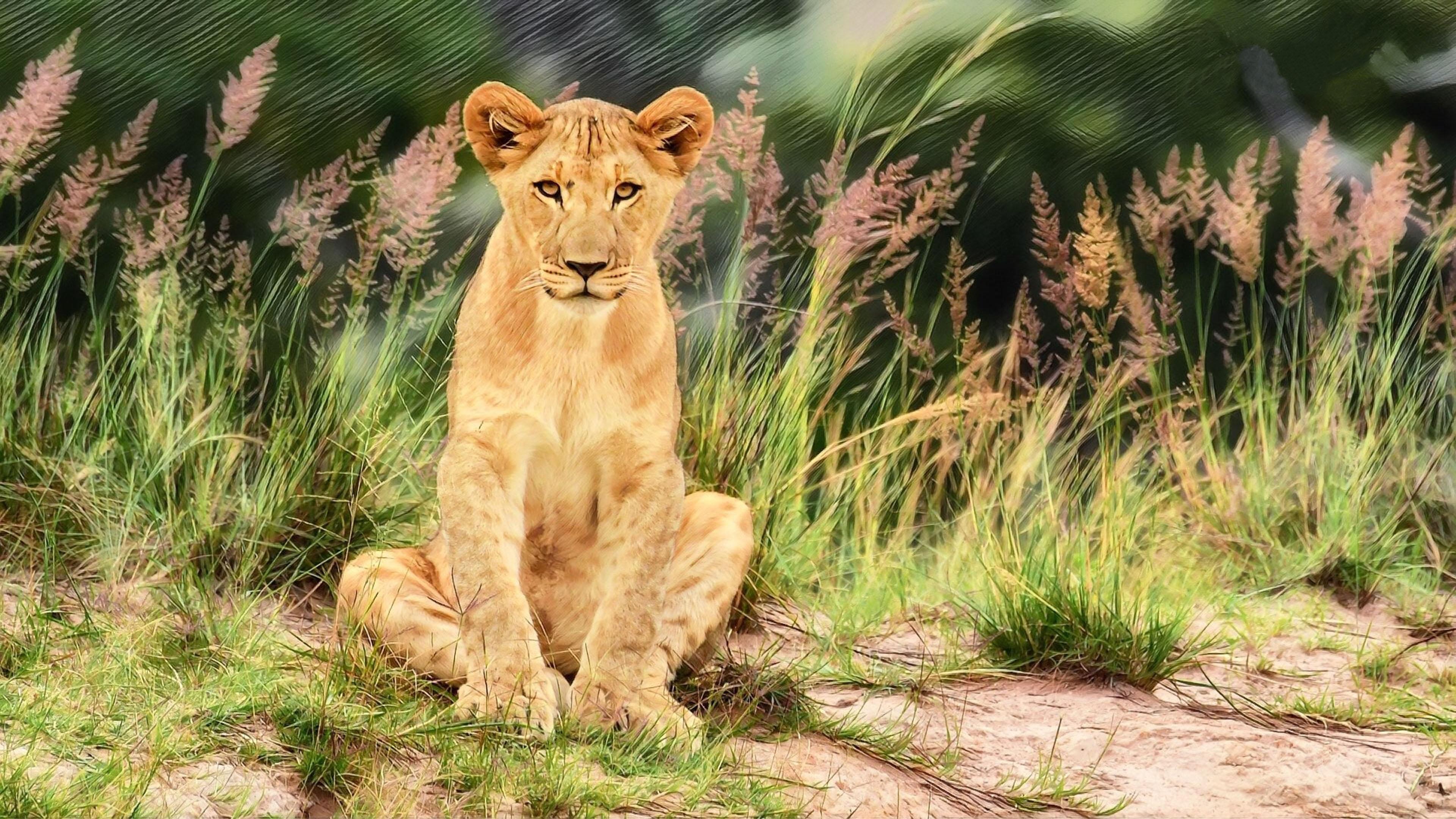 Animal Wallpaper Desktop Background Wild Animal Young Male Lion 4k Ultra Hd Tv Wallpaper For