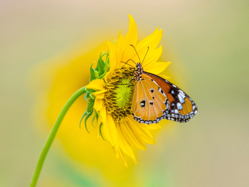 Wallpaper Full Color Hd Insect Tiger Butterfly On Yellow Color From Sunflower 4k
