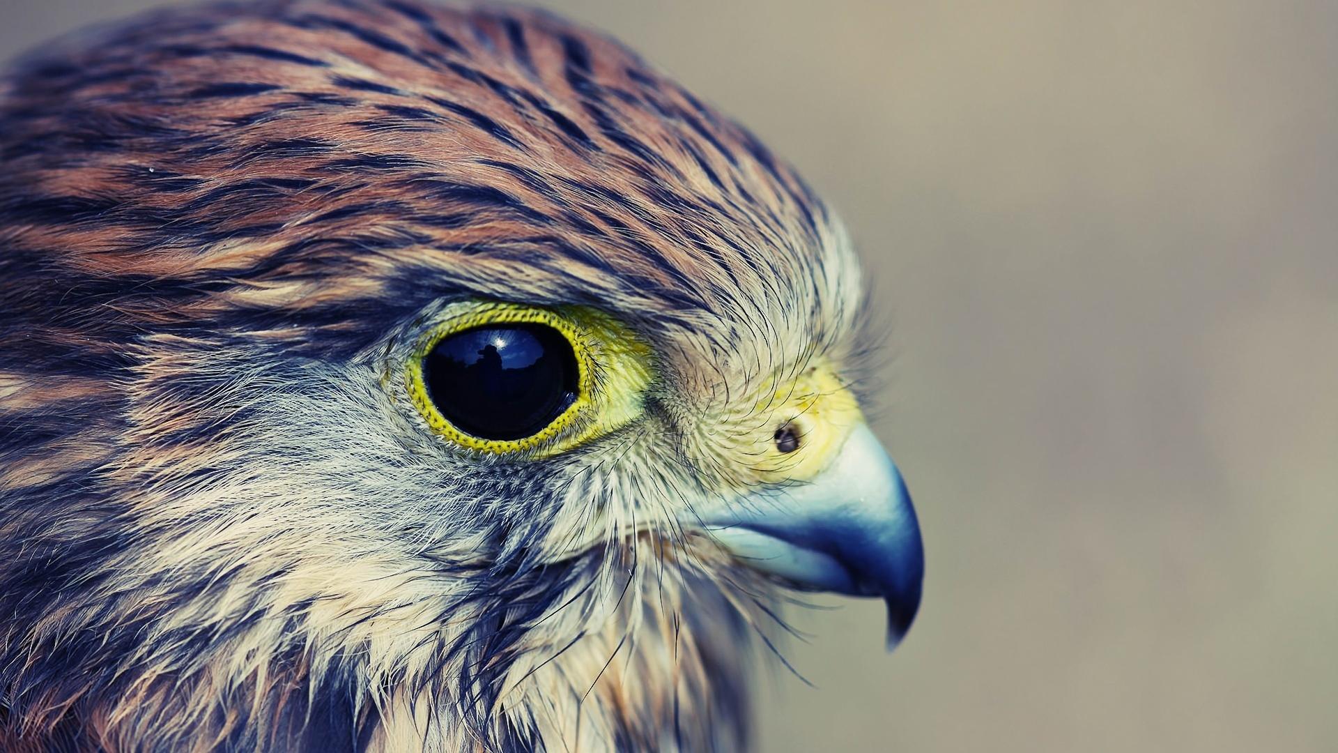 Ice Cream Wallpaper Hd 1080p Download Wallpaper 1920x1080 Eagle Baby Hawk Head Beak
