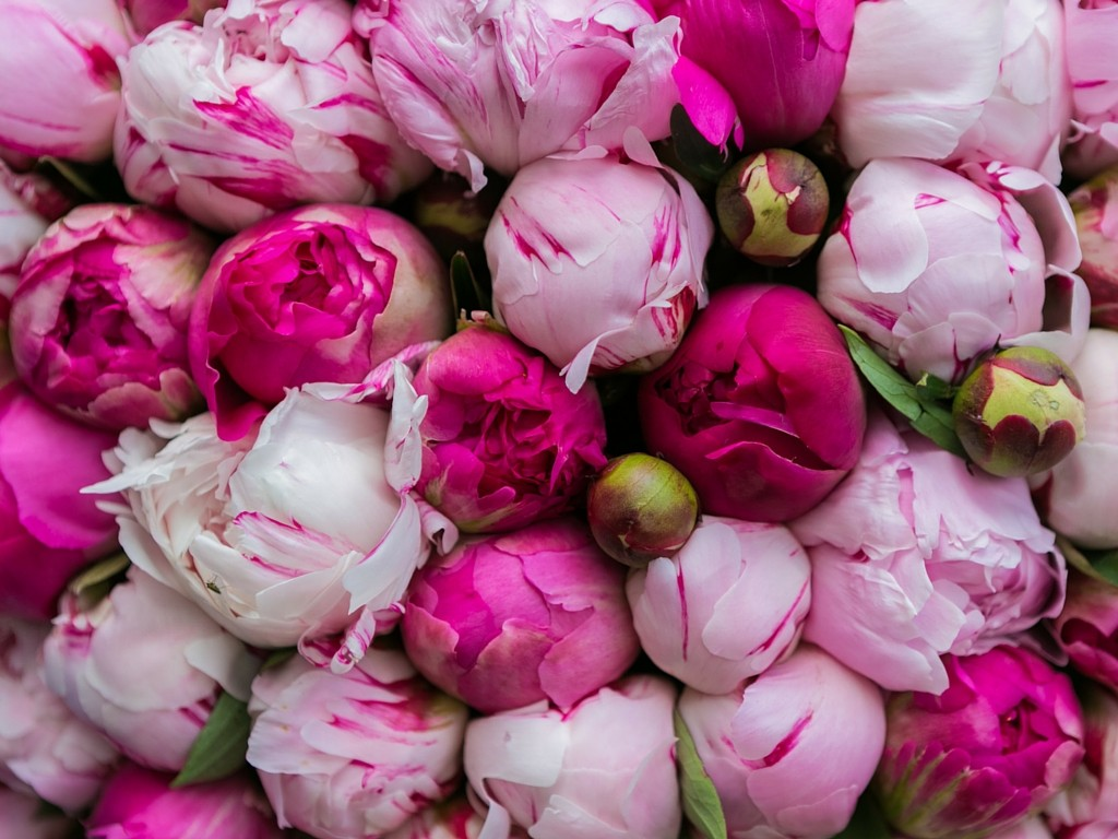 Fall Flowers Desk Background Wallpaper Download Pink Peonies Wallpaper Gallery