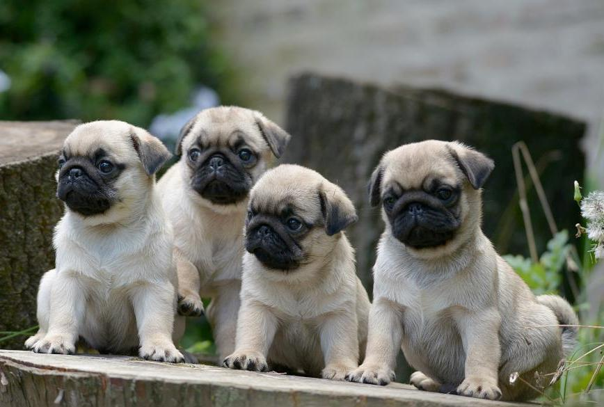 Free Fall Puppy Wallpaper Download Baby Pug Wallpaper Gallery