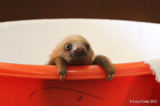Sad Wallpaper Free Download Hd Download Baby Sloth Wallpaper Gallery