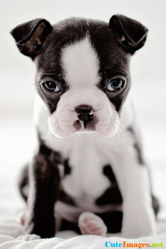 3d Live Wallpaper For Mobile Download Boston Terrier Puppies Wallpaper Gallery