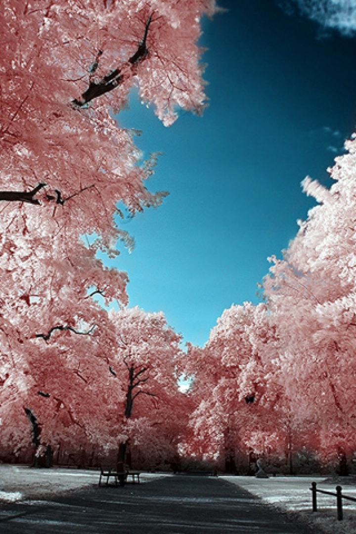 Girly Iphone 4 Wallpapers Download Cherry Blossom Phone Wallpaper Gallery