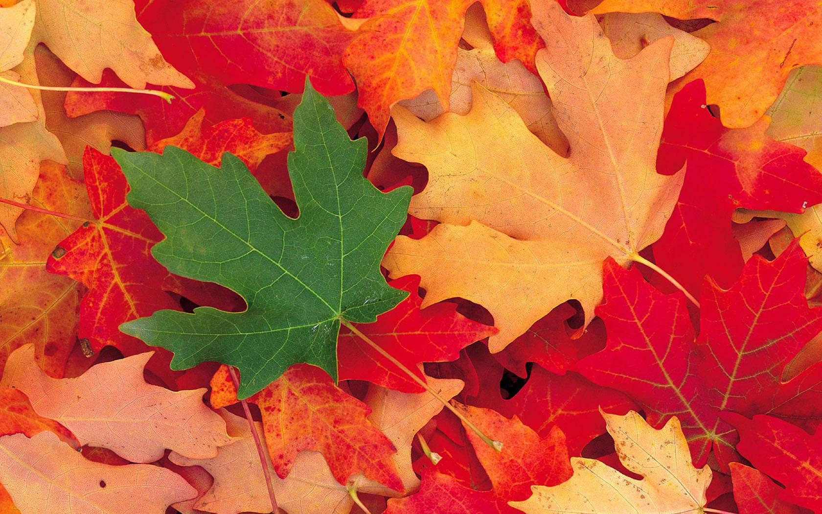 Fall Wallpaper For Android Phone Download Maple Leaf Wallpaper Gallery