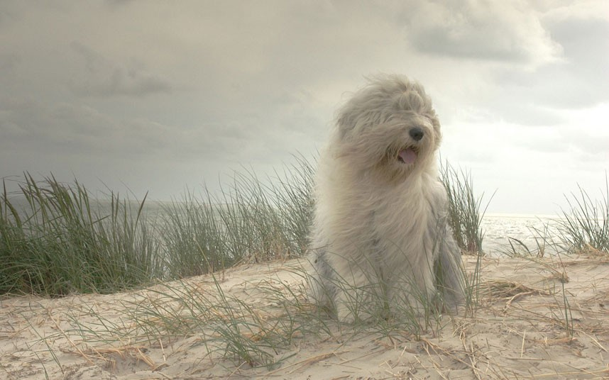Download Old English Sheepdog Wallpaper Gallery