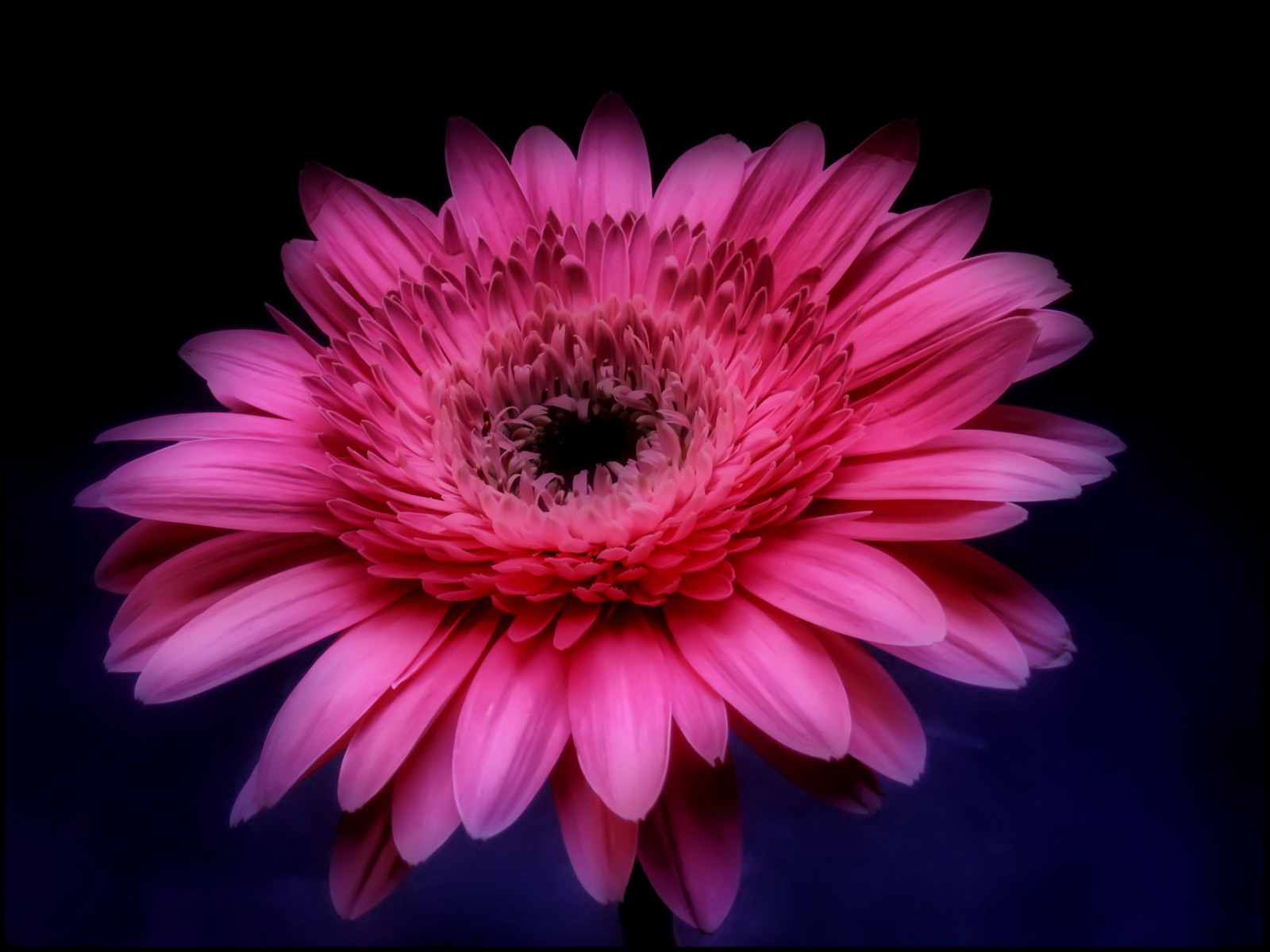 3d Nature Wallpapers Free Download For Pc Download Pink Gerbera Daisy Wallpaper Gallery