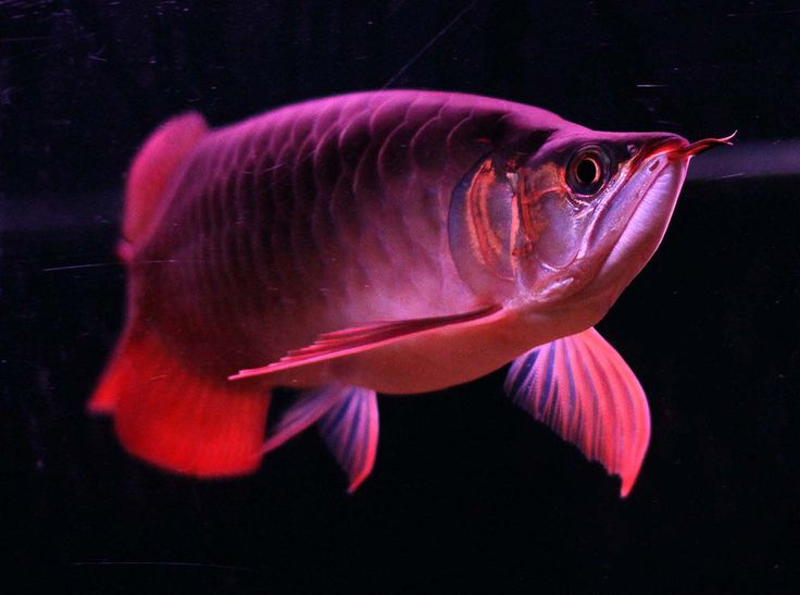 Cute Baby Horse Wallpaper Download Red Arowana Wallpaper Gallery