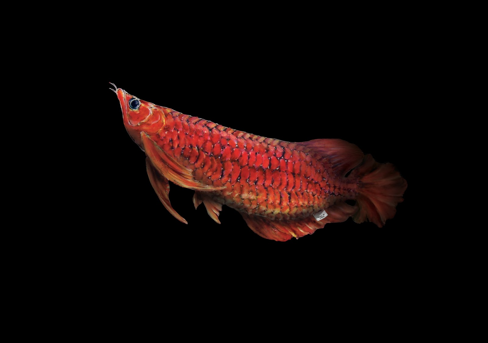 Cute Guitar Wallpapers Hd Download Red Arowana Wallpaper Gallery