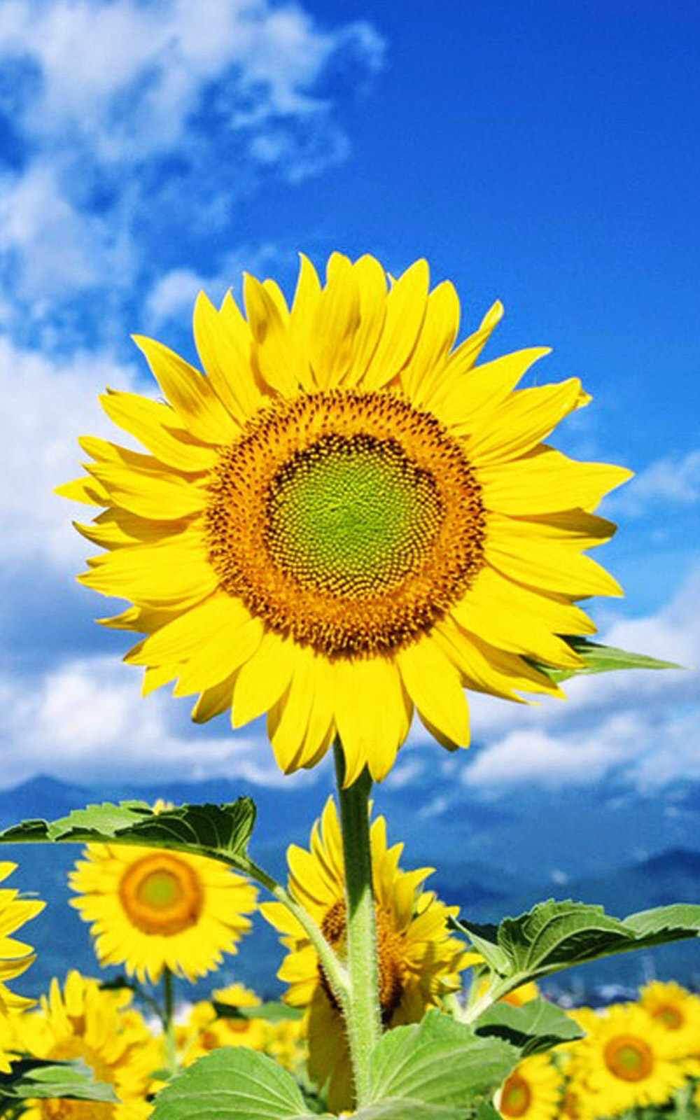 Sunflower Wallpaper With Quote Download Sunflower Mobile Wallpaper Gallery