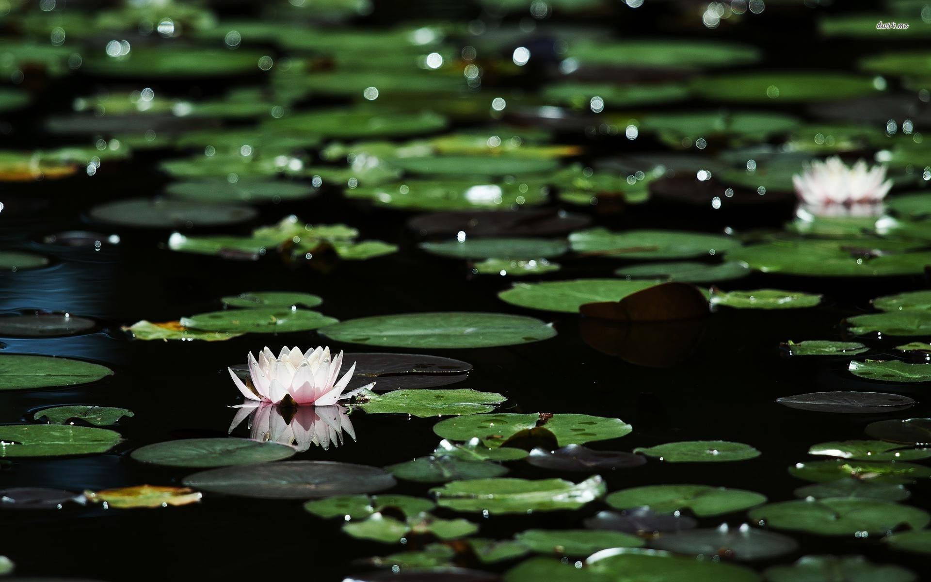 Cell Phone Wallpaper Quotes Download Water Lilies Wallpaper Gallery