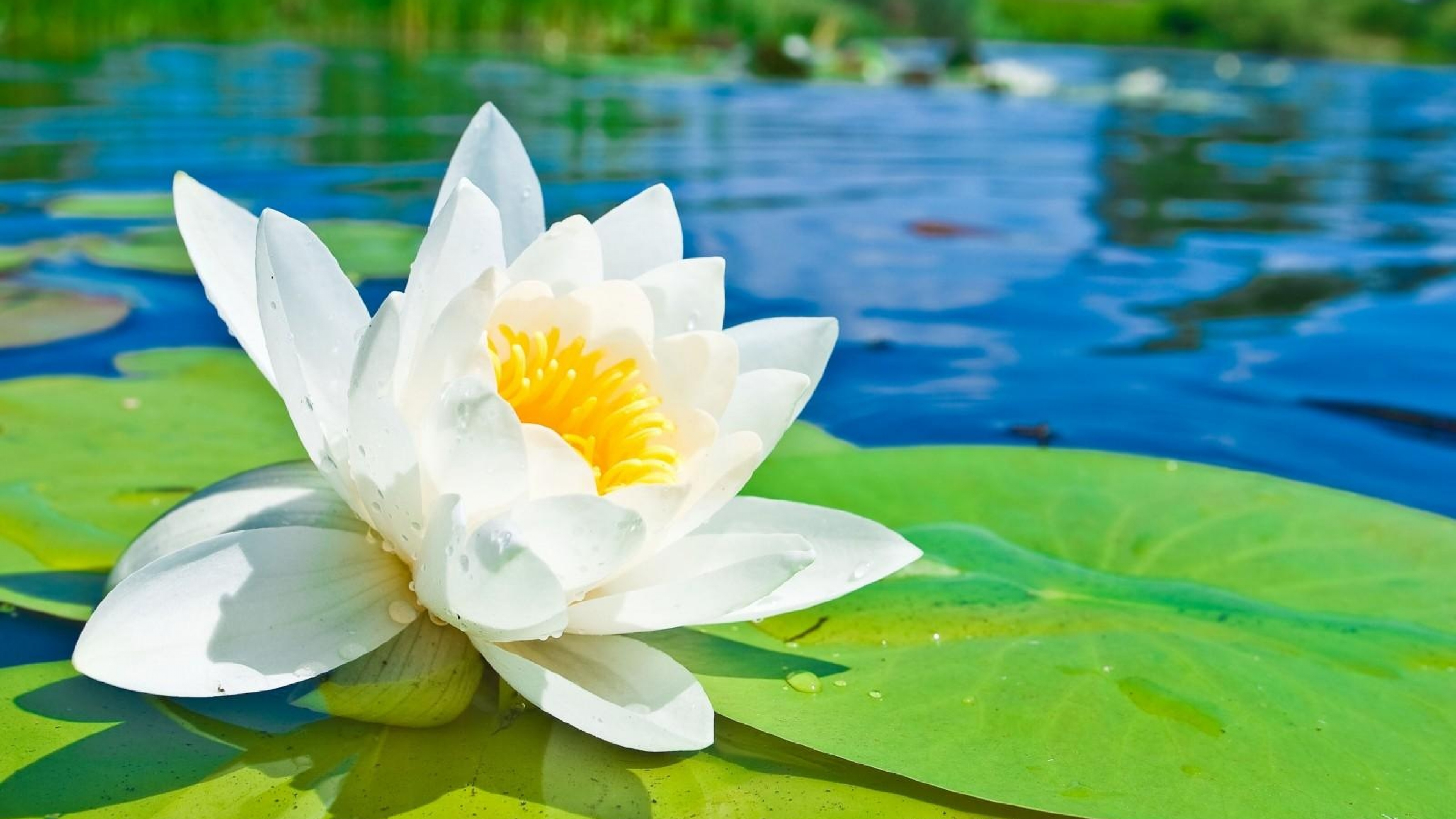Most Romantic Wallpapers With Love Quotes Download Water Lily Wallpaper Gallery