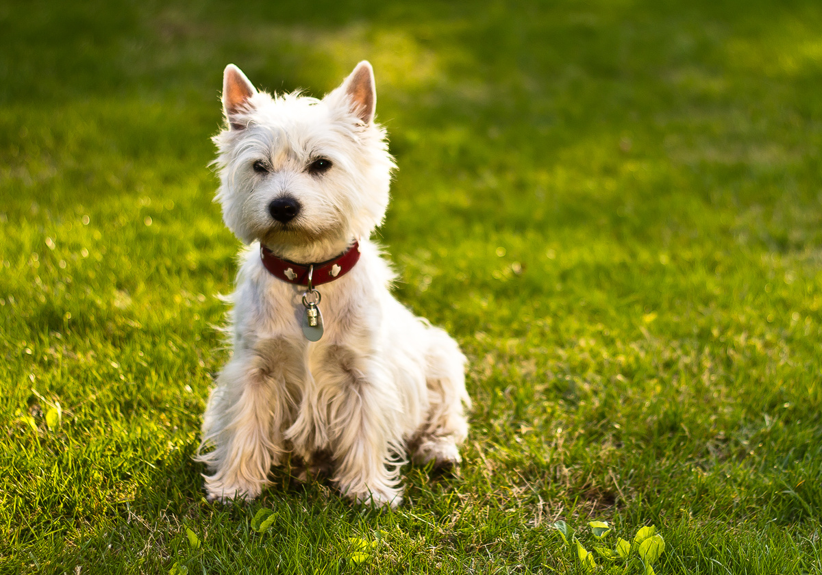 Cute Yorkshire Terrier Puppies Wallpaper Download West Highland White Terrier Wallpaper Gallery