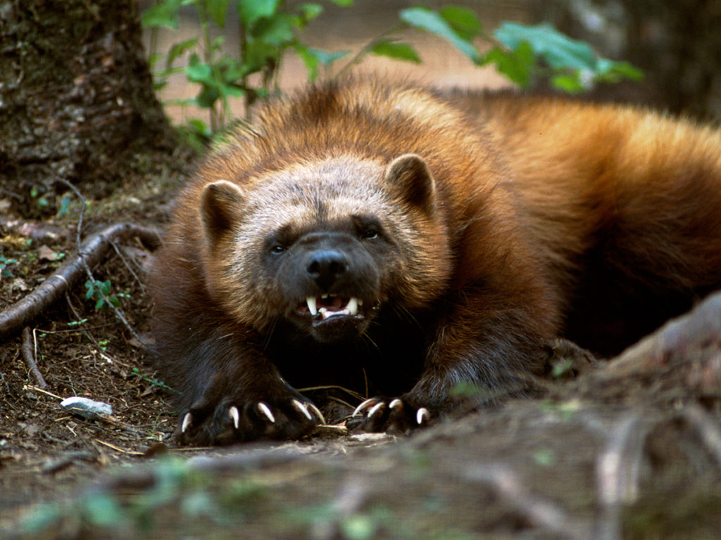 Phone Fall Wallpaper Download Wolverine Animal Wallpaper Gallery