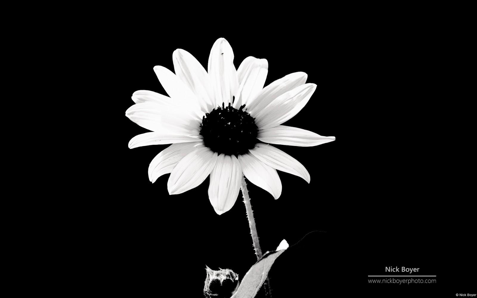 fleur noir et blanc fond d ecran