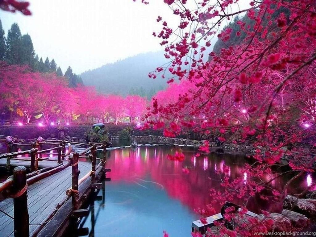 champs de fleurs de cerisier japonais