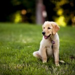 Labrador Puppies 1920x1200 Download Hd Wallpaper Wallpapertip