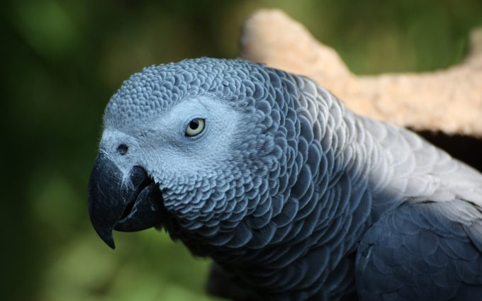 Colorful Wallpaper For Iphone X African Grey Parrot Wallpaper 4k Background Hd Wallpaper