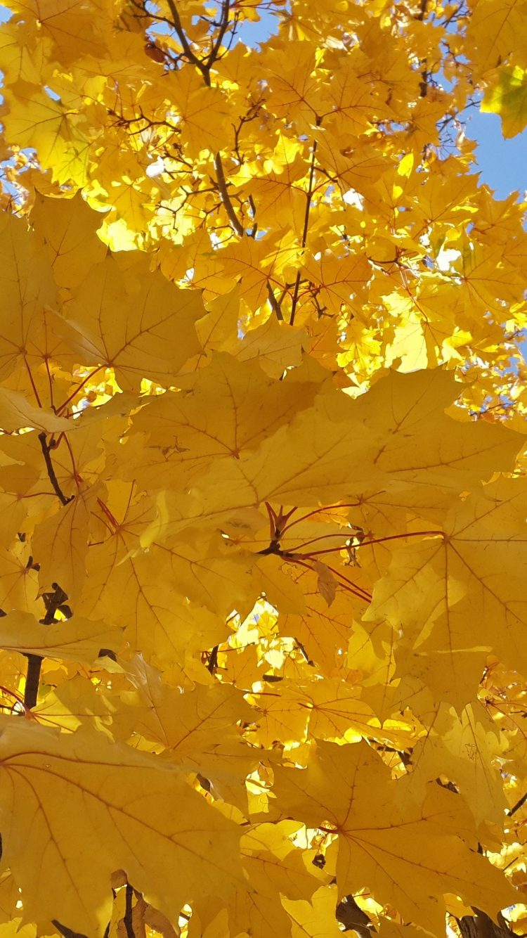 Beautiful Iphone 5s Wallpapers Yellow Leaves Wallpaper 4k Background Hd Wallpaper