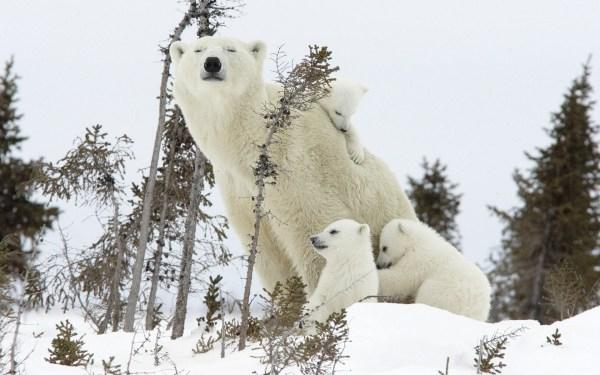 Snow Animals Polar Bears Baby Wallpaper 1920x1200 13676 Wallpaperup
