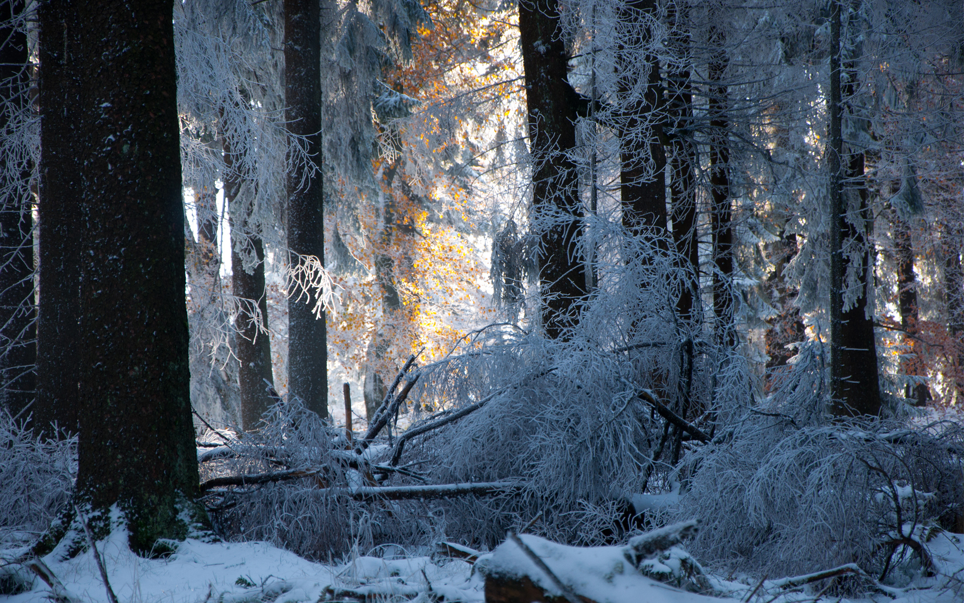 Snow Forest Trees Winter Sunlight Light Frost Landscapes