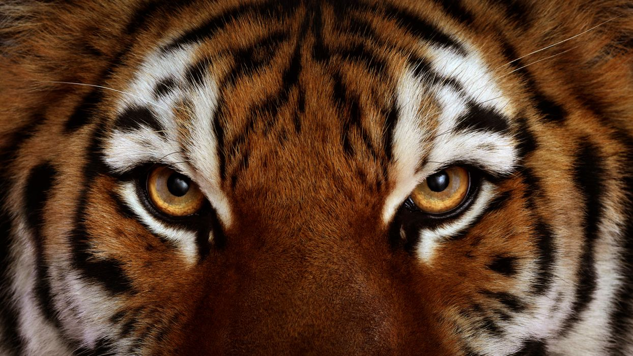 tiger tigers face eye