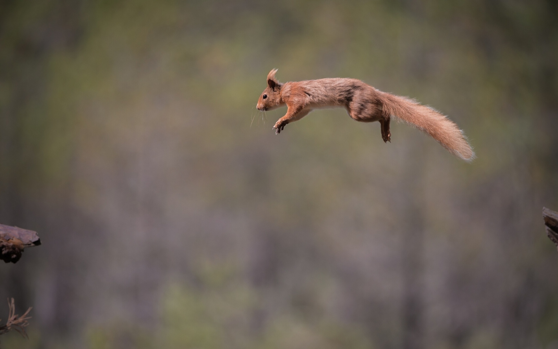 Animal Wallpaper Red Jump Fly Squirrel Wallpaper 1920x1201 135947