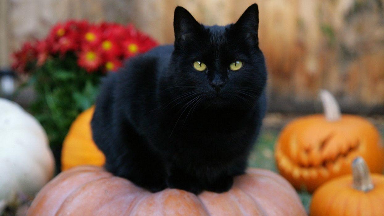 Cute Fat Baby Wallpapers Black Cat Halloween Pumpkins Jack O Lanterns Wallpaper