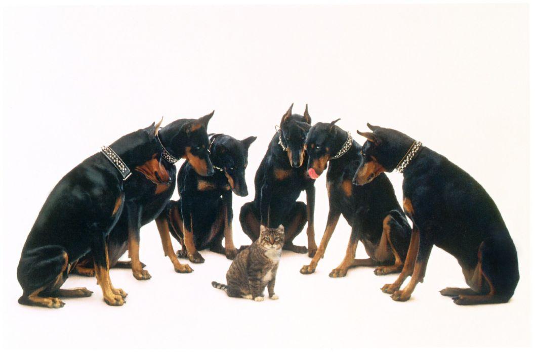 DOBERMAN PINSCHER Dog Dogs Cat Wallpaper 1800x1192 519483 WallpaperUP