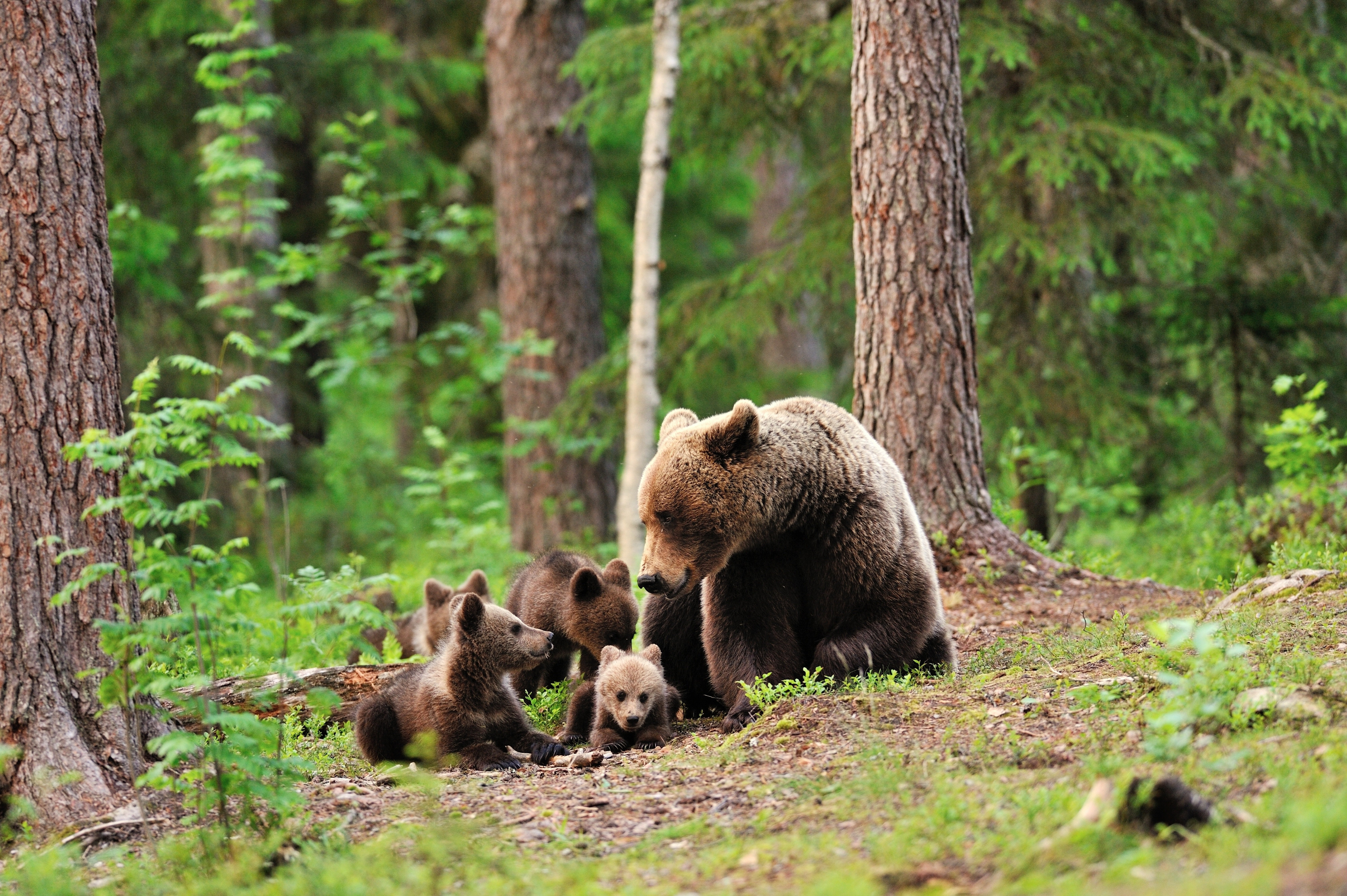 Bear Bears Forest Trees Baby Cub Cubs Mother Family Cute