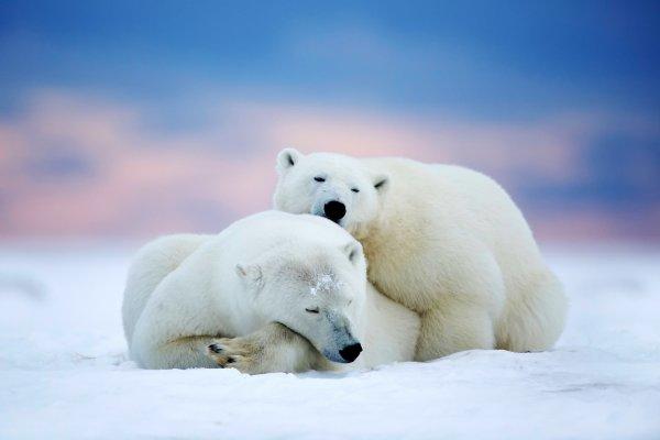 Polar Bears Two Sleeping Snow Sky Winter Animals Bear Wallpaper 2048x1366 588609 Wallpaperup