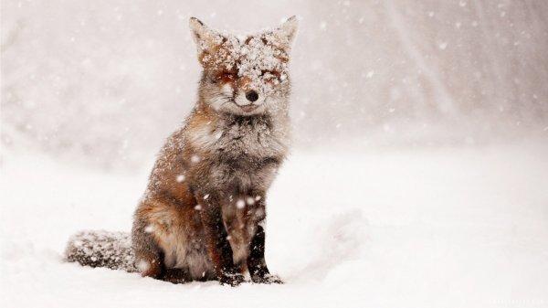 Fox Snow Winter Nature Animals Foxes Wallpaper 1920x1080 620710 Wallpaperup