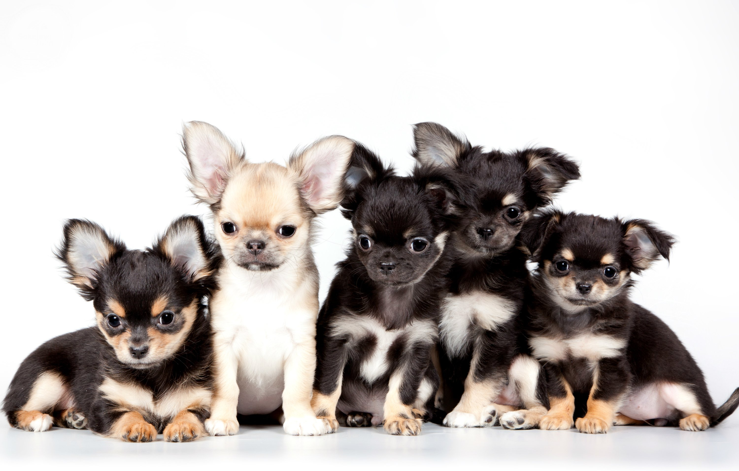 Cute Chihuahua Puppy Wallpaper Chihuahua Dog Puppy Baby Wallpaper 3000x1911 719394