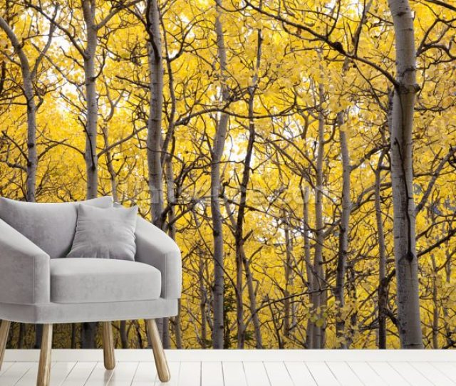 Autumn Scenic Of Colorful Yellow Aspen Trees Wall Mural Room Setting