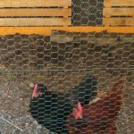 Nancy-Chickens-Waiting-WEB
