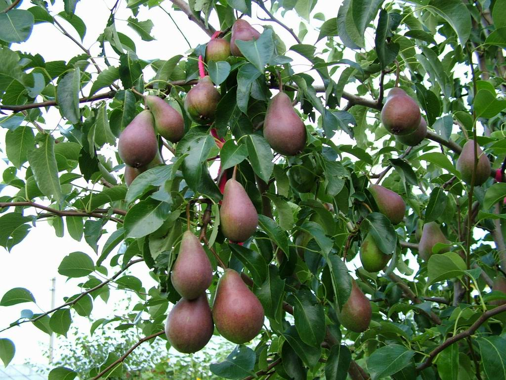 Image result for seckel pear tree